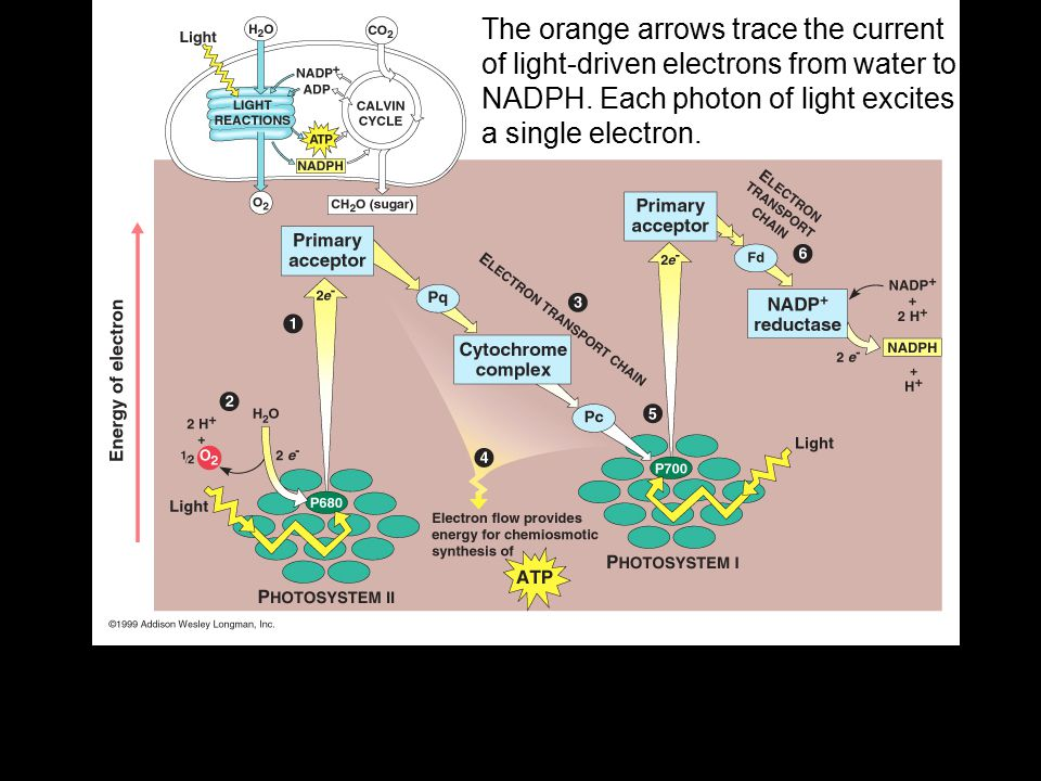 The orange arrows trace the current of light-driven electrons from water to NADPH.