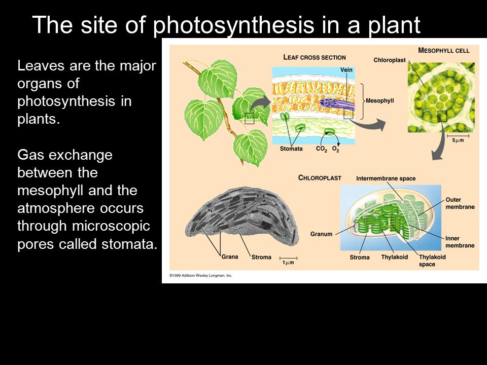 The site of photosynthesis in a plant