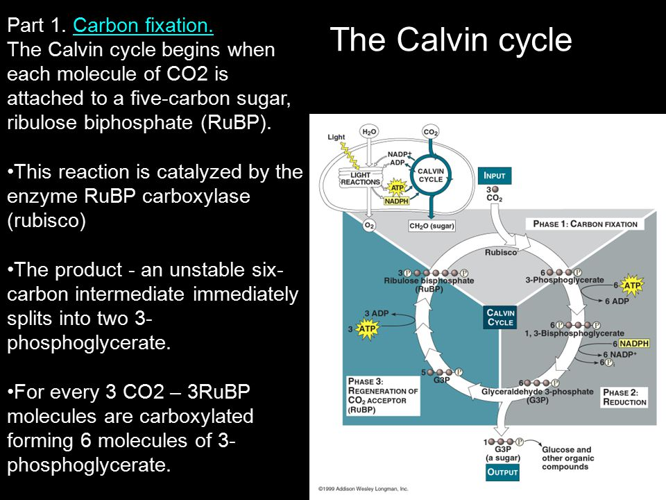 The Calvin cycle Part 1. Carbon fixation.