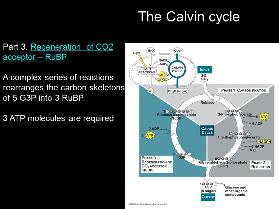 The Calvin cycle Part 3. Regeneration of CO2 acceptor – RuBP