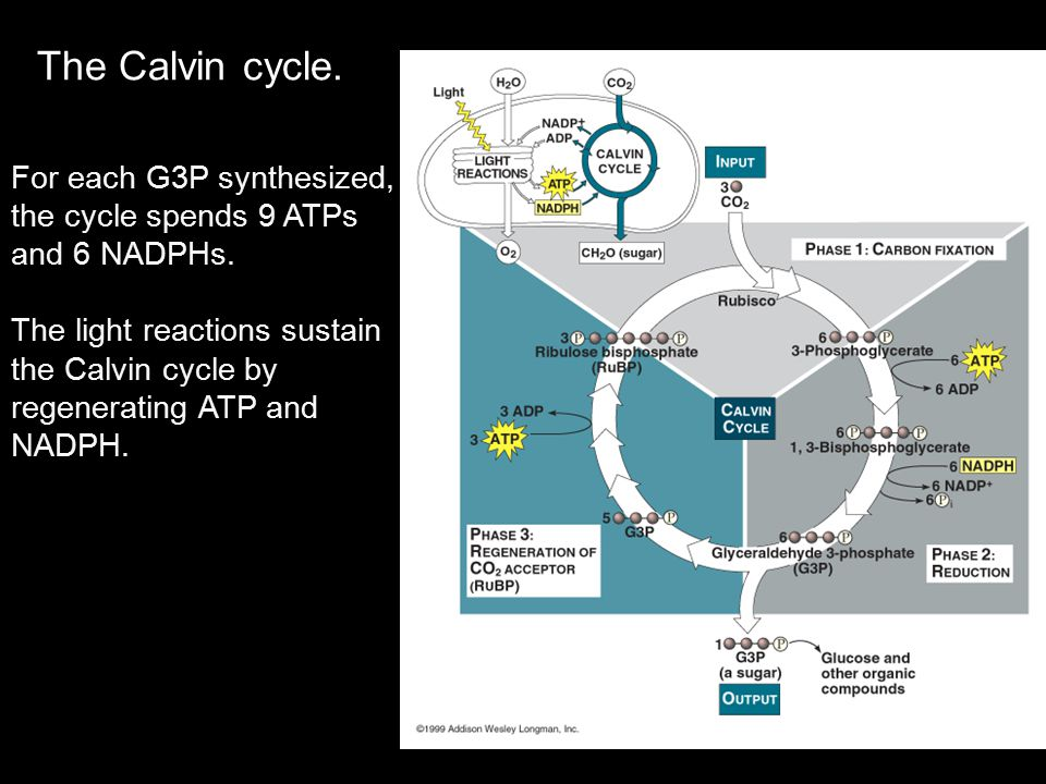 The Calvin cycle. For each G3P synthesized, the cycle spends 9 ATPs and 6 NADPHs.