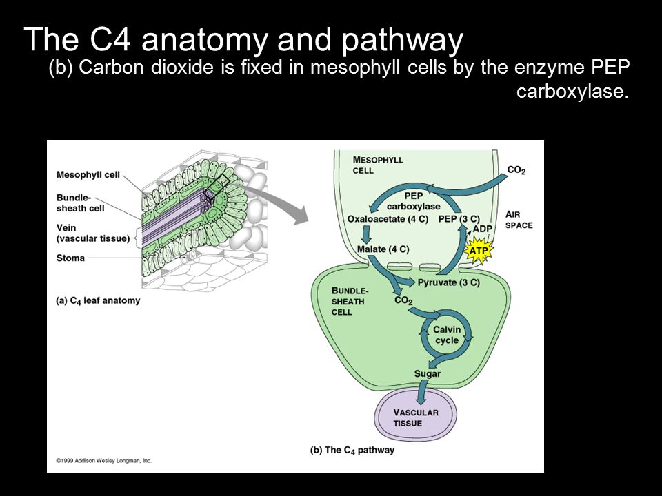 The C4 anatomy and pathway