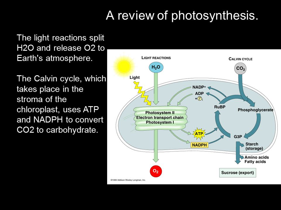 A review of photosynthesis.