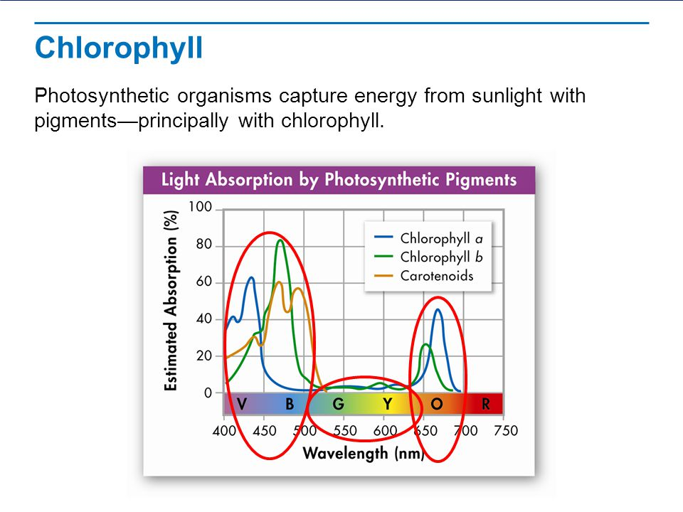Chlorophyll Photosynthetic organisms capture energy from sunlight with pigments—principally with chlorophyll.