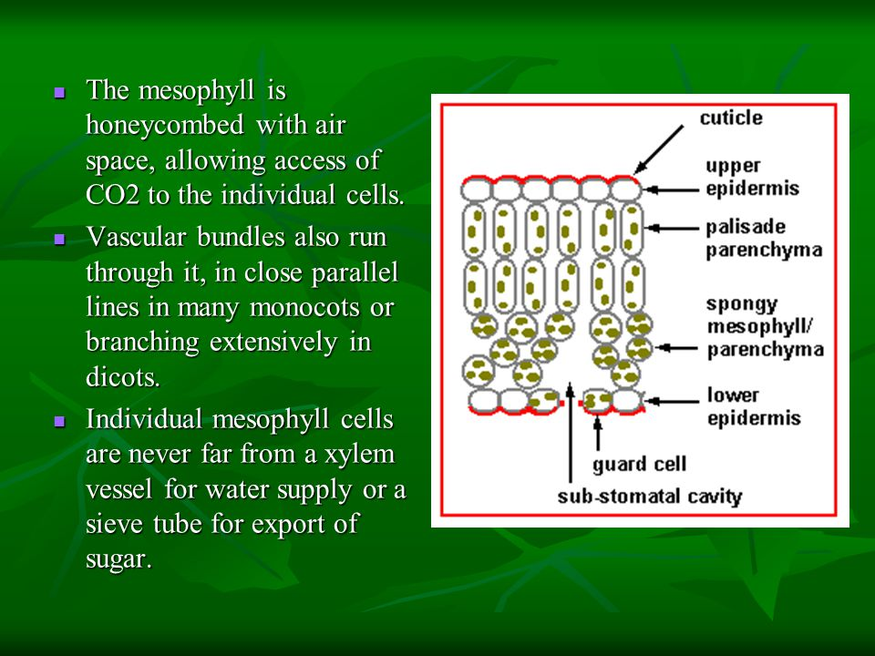 The mesophyll is honeycombed with air space, allowing access of CO2 to the individual cells.