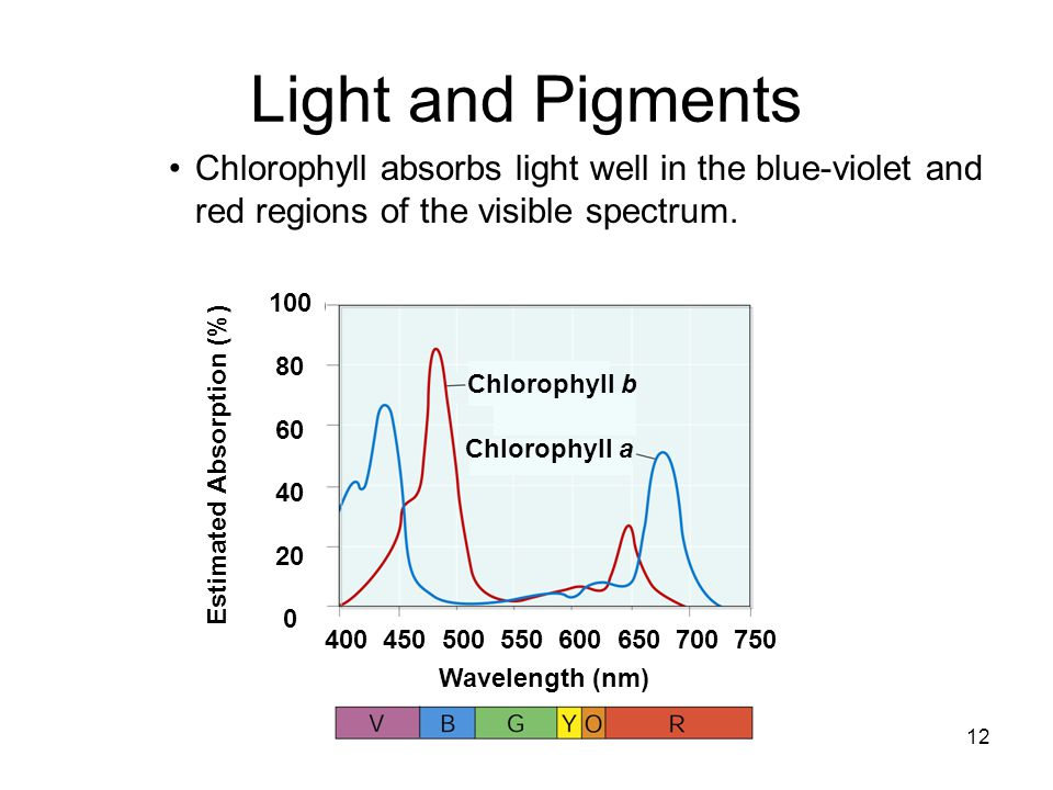 Light and Pigments Chlorophyll absorbs light well in the blue-violet and red regions of the visible spectrum.