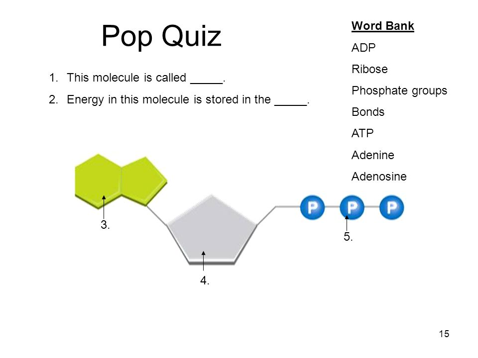 Pop Quiz Word Bank ADP Ribose Phosphate groups Bonds ATP