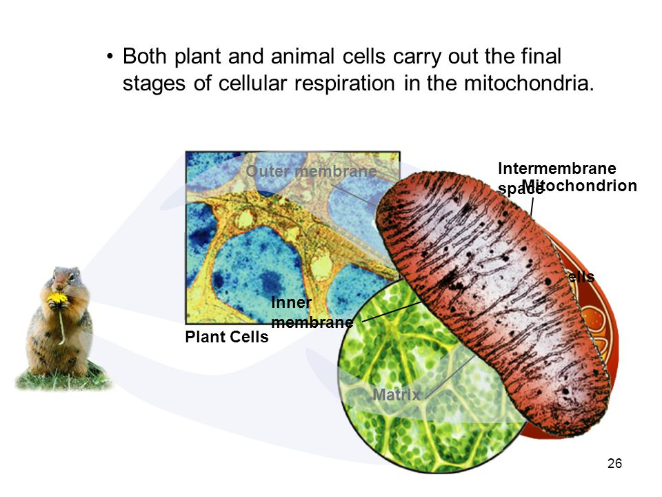 Both plant and animal cells carry out the final stages of cellular respiration in the mitochondria.