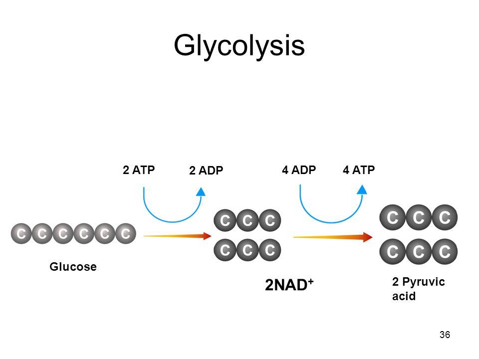 Glycolysis 2 ATP 2 ADP 4 ADP 4 ATP Glucose 2NAD+ 2 Pyruvic acid