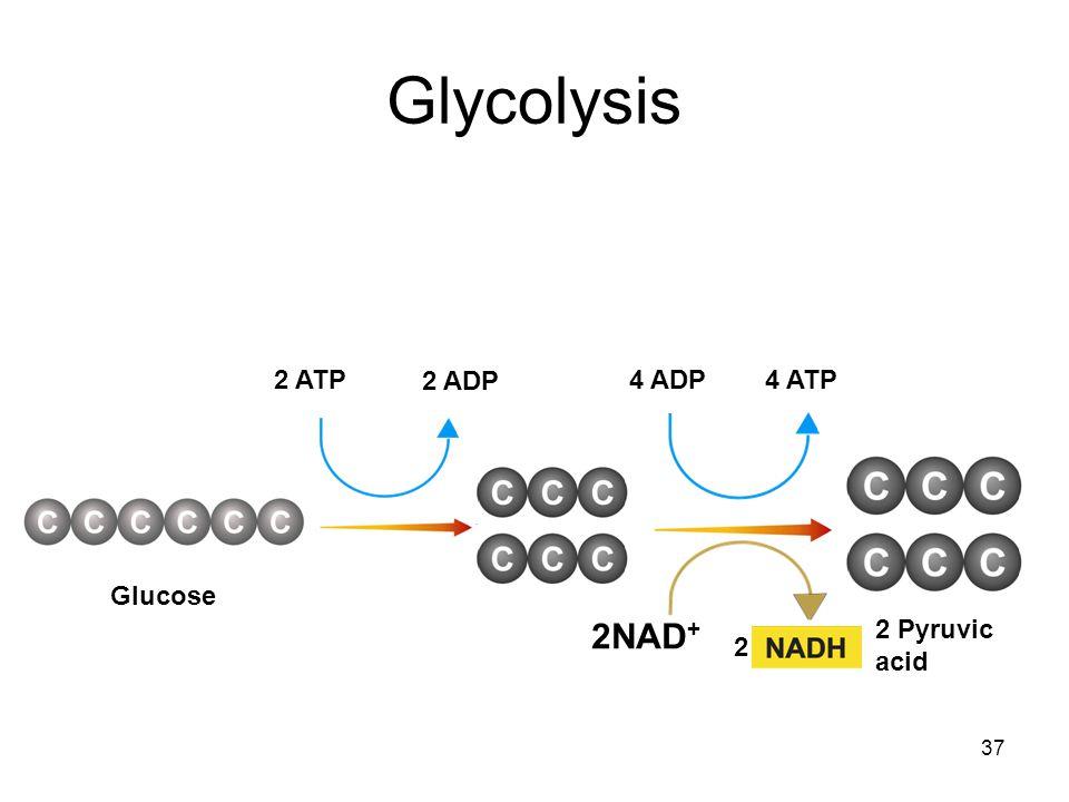 Glycolysis 2 ATP 2 ADP 4 ADP 4 ATP Glucose 2NAD+ 2 Pyruvic acid 2