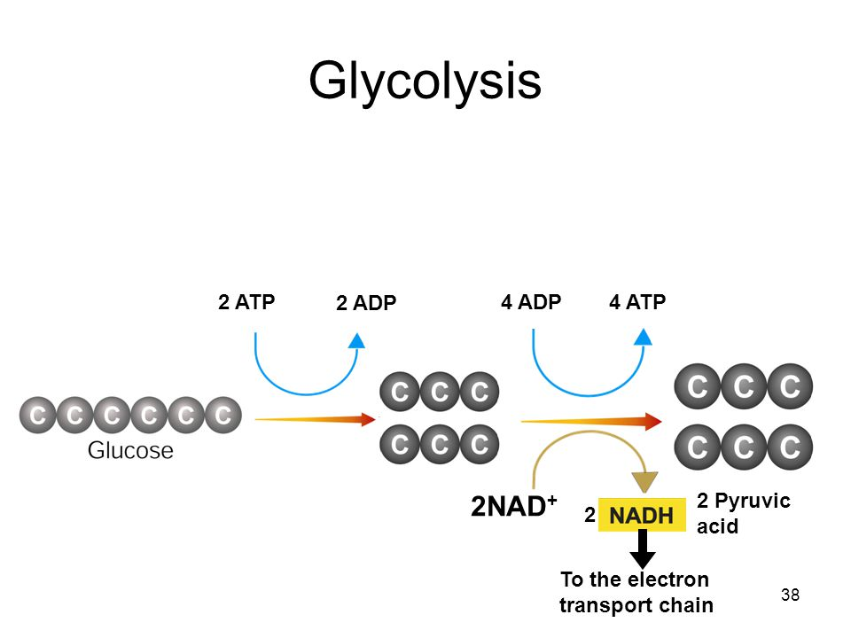 Glycolysis 2NAD+ 2 ATP 2 ADP 4 ADP 4 ATP 2 Pyruvic acid 2