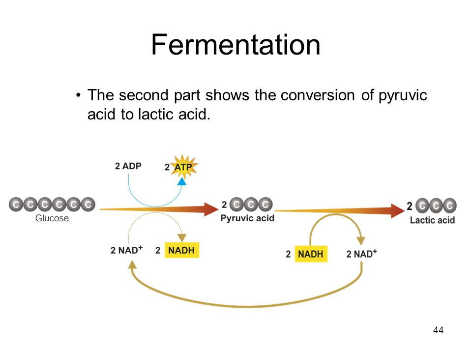 Fermentation The second part shows the conversion of pyruvic acid to lactic acid.