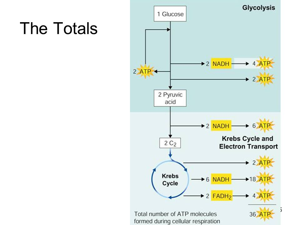 The Totals The complete breakdown of glucose through cellular respiration, including glycolysis, results in the production of 36 molecules of ATP.