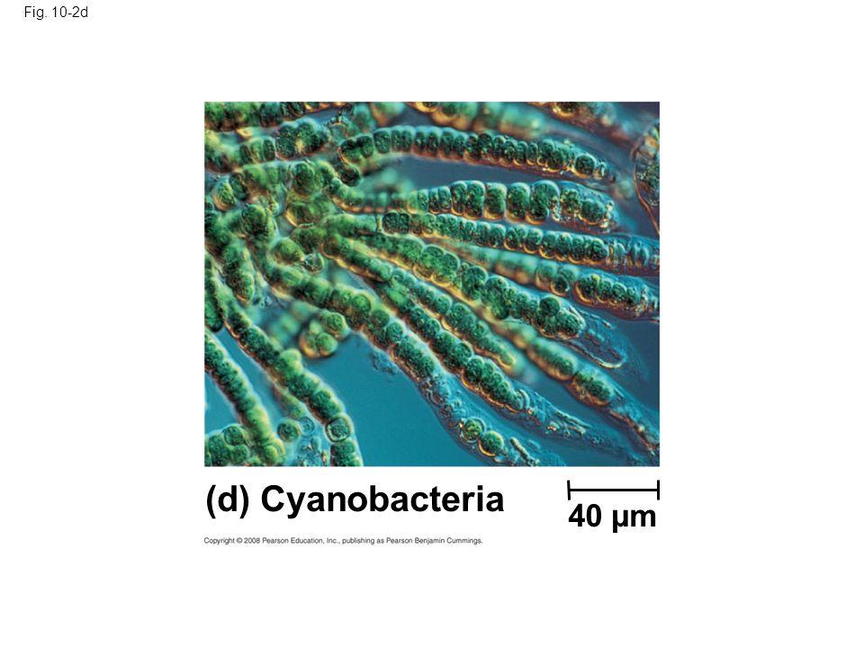 Fig. 10-2d Figure 10.2 Photoautotrophs (d) Cyanobacteria 40 µm