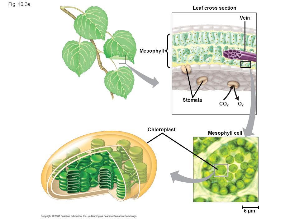 Fig. 10-3a Leaf cross section. Vein. Mesophyll. Stomata. CO2. O2. Chloroplast. Mesophyll cell.