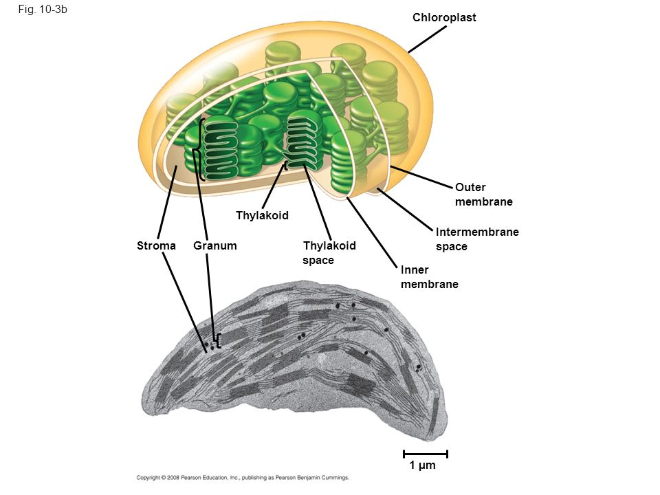 Chloroplast Outer membrane Thylakoid Intermembrane space Stroma Granum