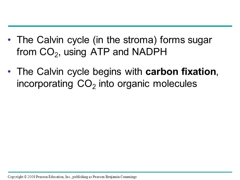 The Calvin cycle (in the stroma) forms sugar from CO2, using ATP and NADPH