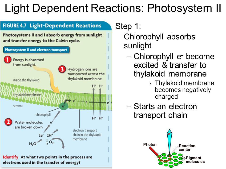 Light Dependent Reactions: Photosystem II