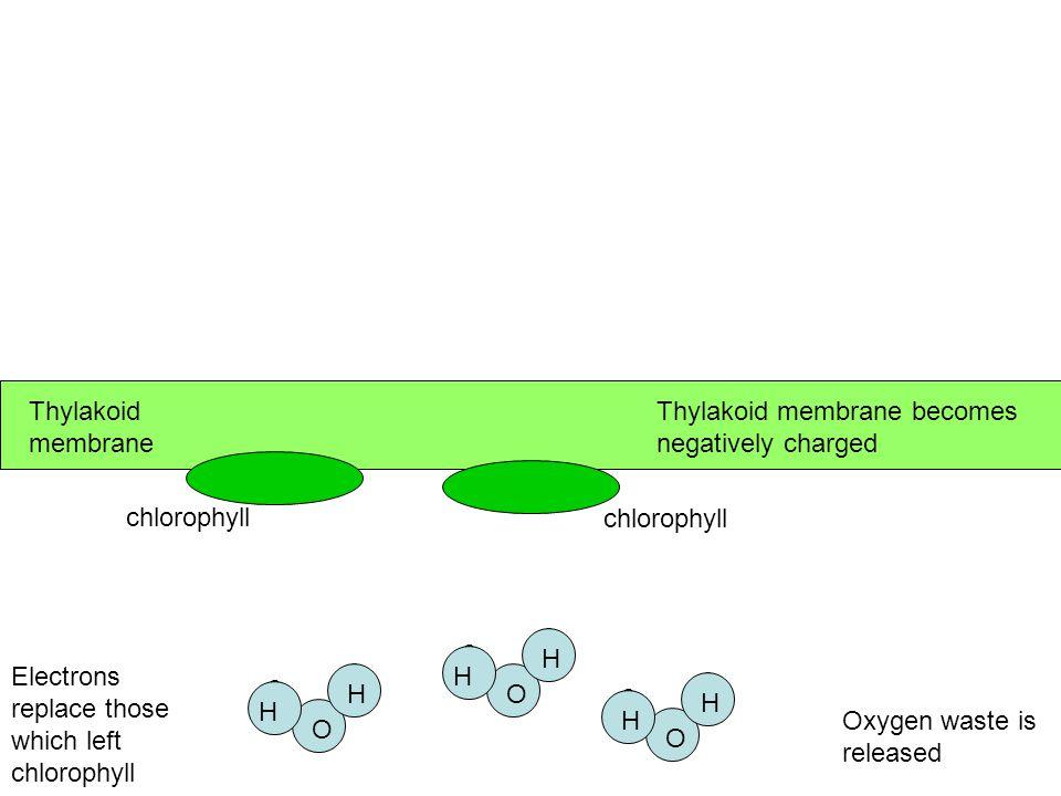 Thylakoid membrane Thylakoid membrane becomes negatively charged. e. e. e. e. e. e. e. e. e.