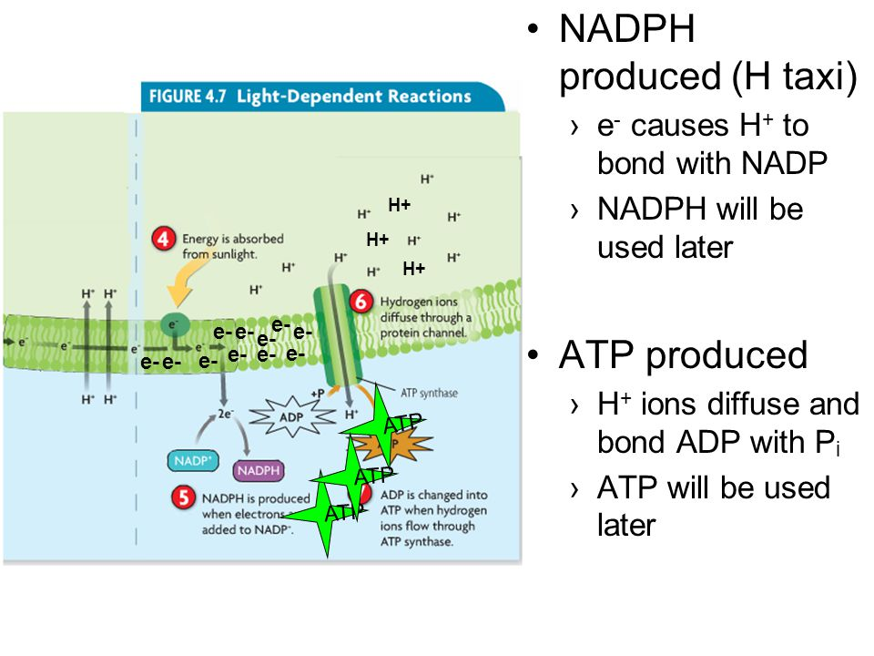 NADPH produced (H taxi)