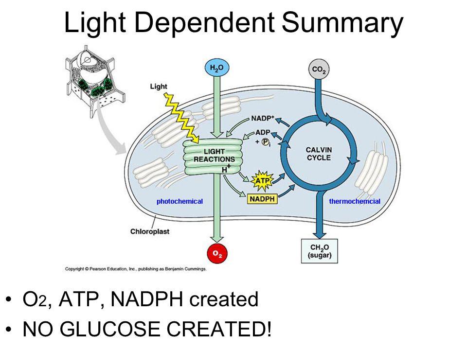 Light Dependent Summary