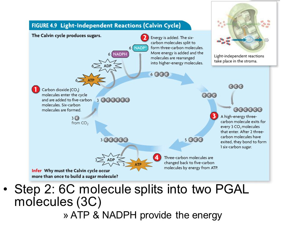 Step 2: 6C molecule splits into two PGAL molecules (3C)