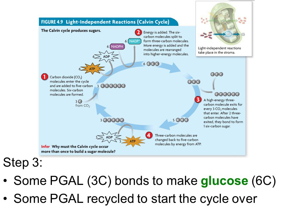 Step 3: Some PGAL (3C) bonds to make glucose (6C) Some PGAL recycled to start the cycle over