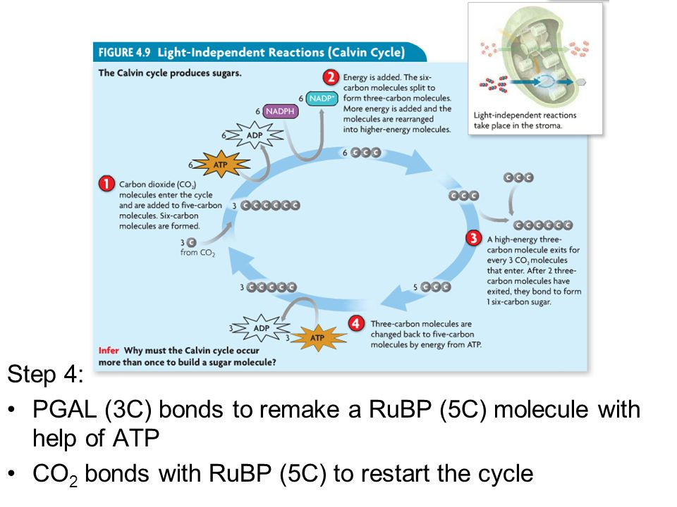 Step 4: PGAL (3C) bonds to remake a RuBP (5C) molecule with help of ATP.