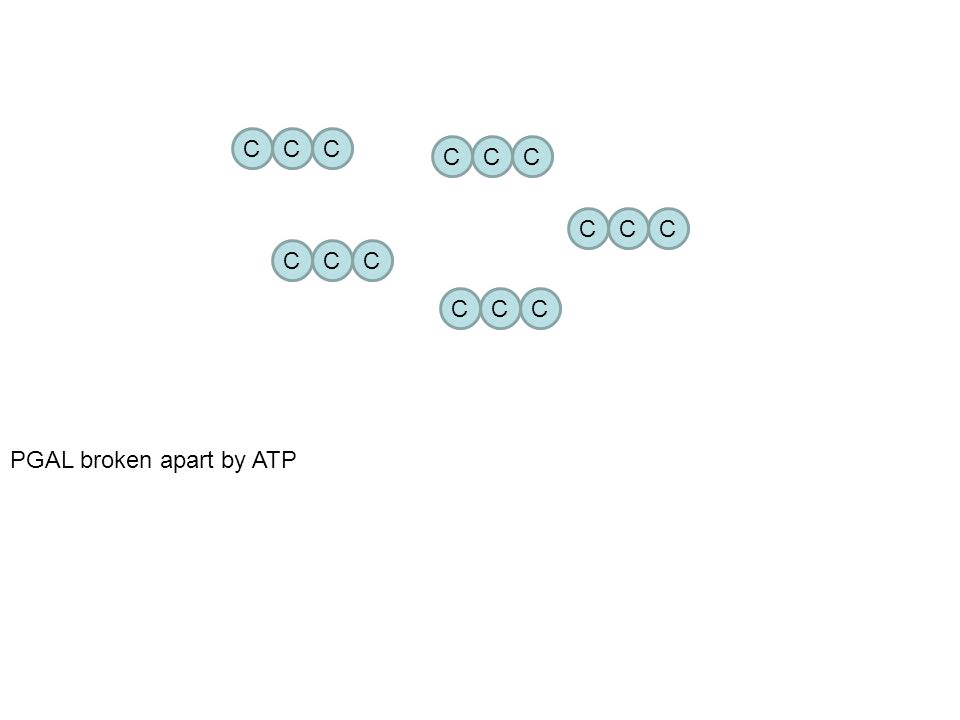 C C C C C C C C C C C C C C C ATP ATP ATP PGAL broken apart by ATP