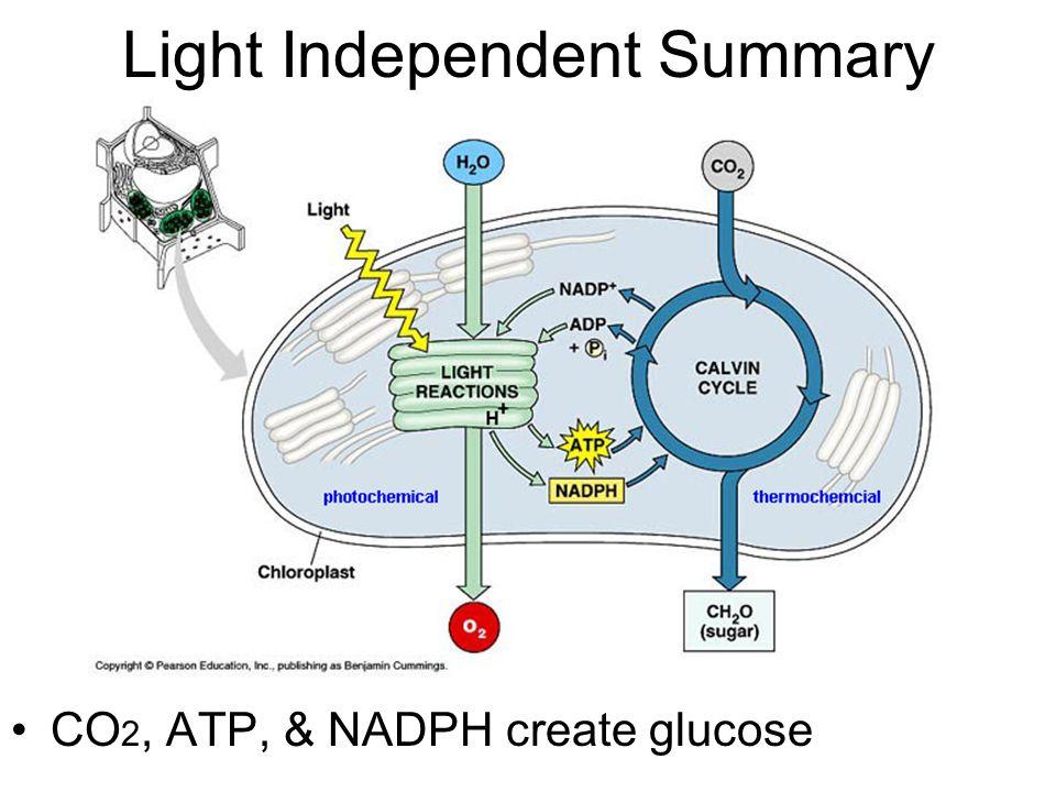 Light Independent Summary