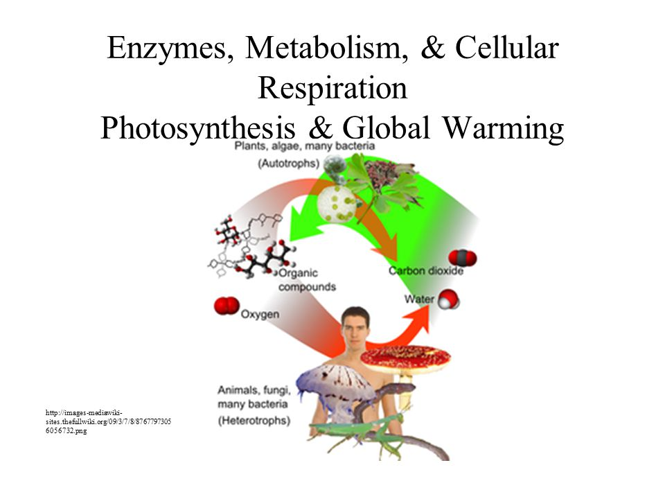 Enzymes, Metabolism, & Cellular Respiration Photosynthesis & Global Warming