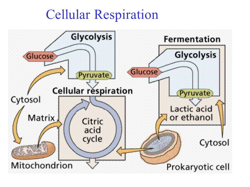 an introduction to the cellular metabolism and fermentation Introduction to cell respiration laboratory cell respiration introduction to fermentation fermentation is a pathway for the oxidation of glucose that.