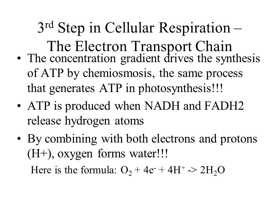 3rd Step in Cellular Respiration – The Electron Transport Chain