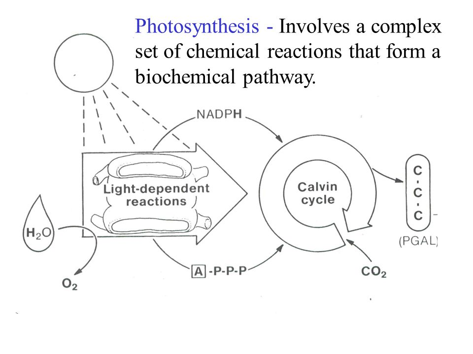 Photosynthesis - Involves a complex set of chemical reactions that form a biochemical pathway.