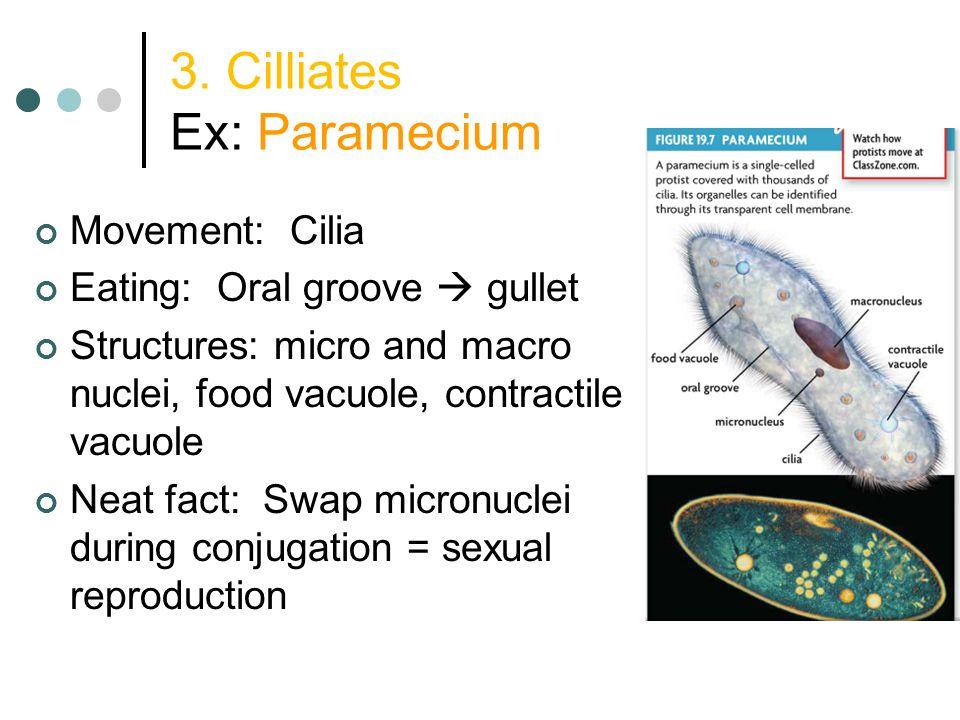 3. Cilliates Ex: Paramecium