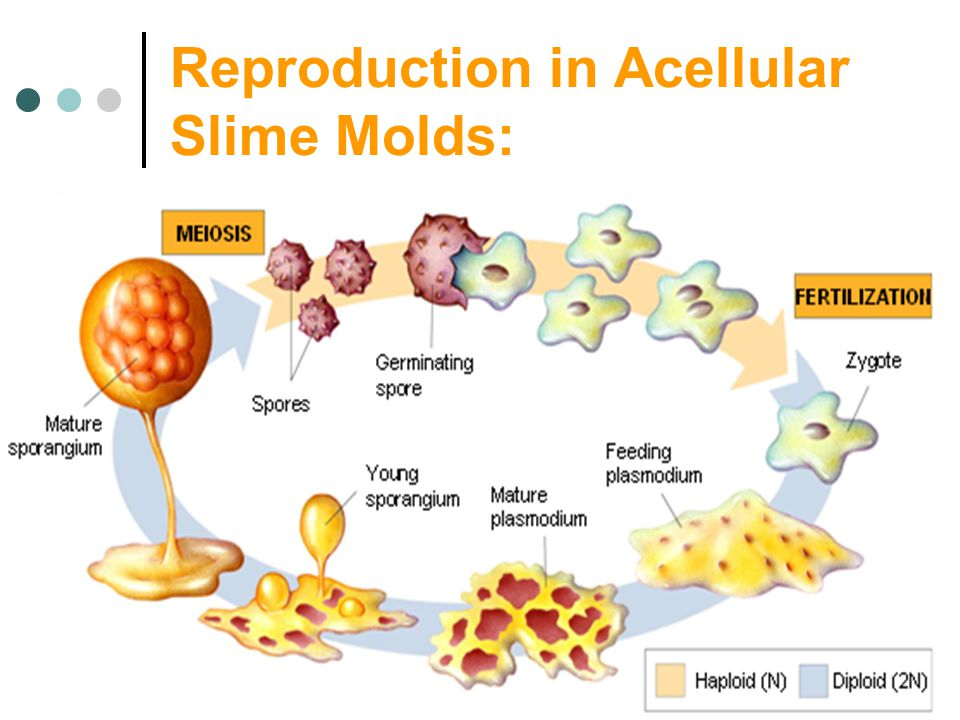 Reproduction in Acellular Slime Molds: