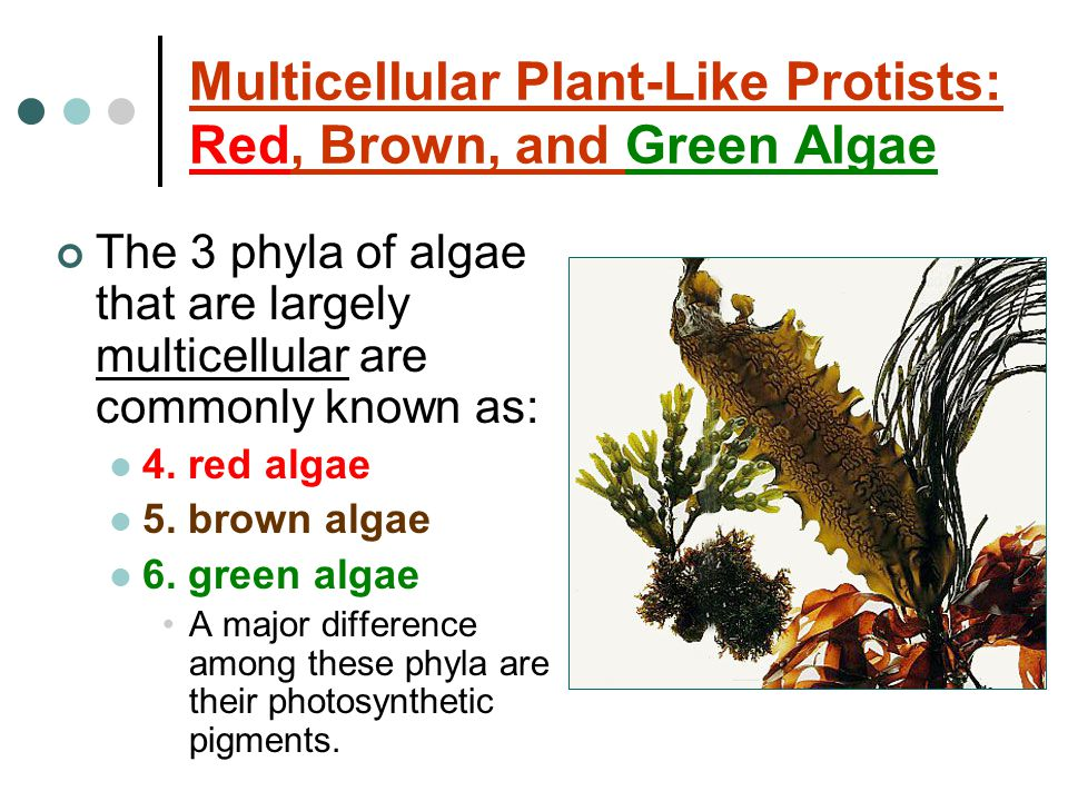 Multicellular Plant-Like Protists: Red, Brown, and Green Algae
