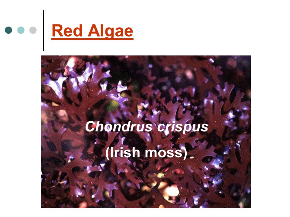 Red Algae Chondrus crispus (Irish moss)