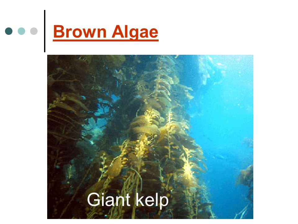 Brown Algae Giant kelp