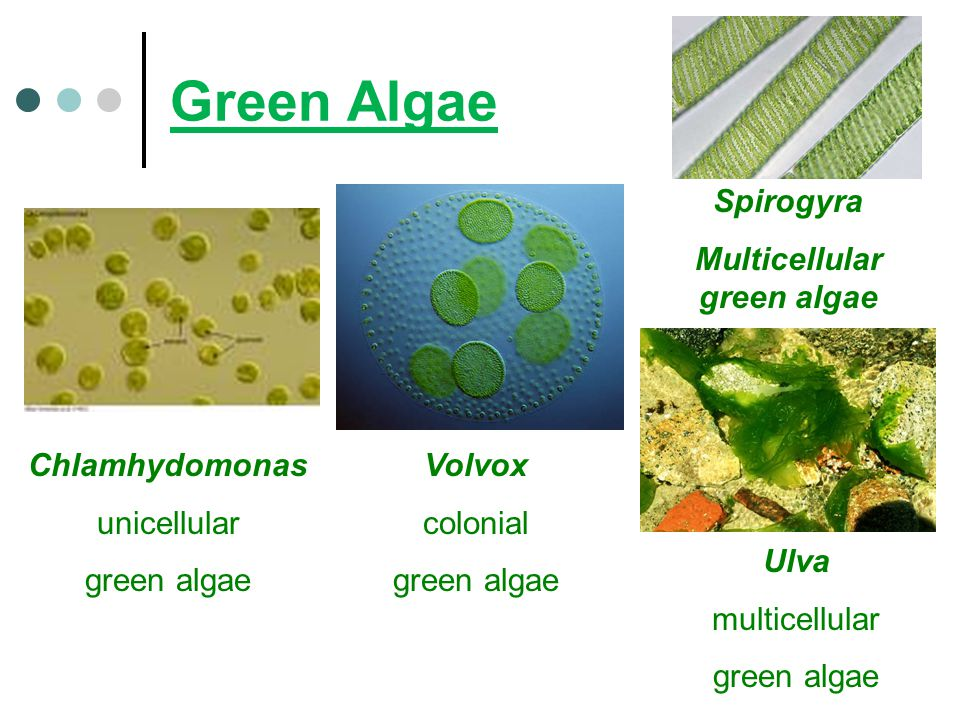 Multicellular green algae