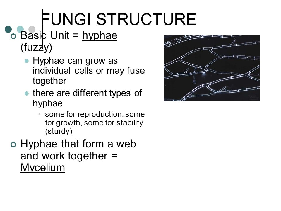 FUNGI STRUCTURE Basic Unit = hyphae (fuzzy)