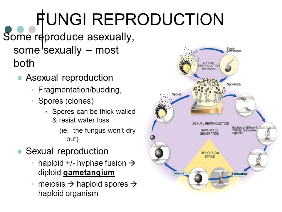 FUNGI REPRODUCTION Some reproduce asexually, some sexually – most both