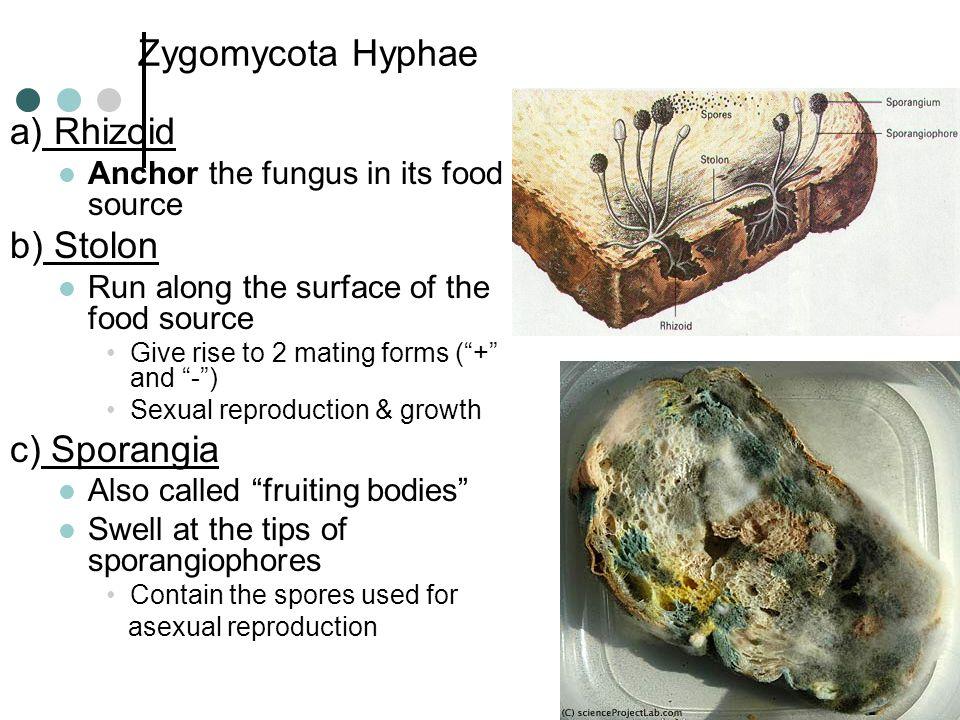 Zygomycota Hyphae a) Rhizoid b) Stolon c) Sporangia