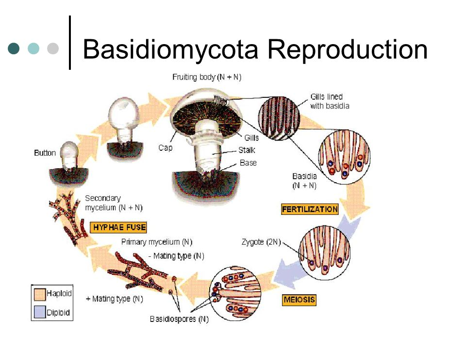 Basidiomycota Reproduction