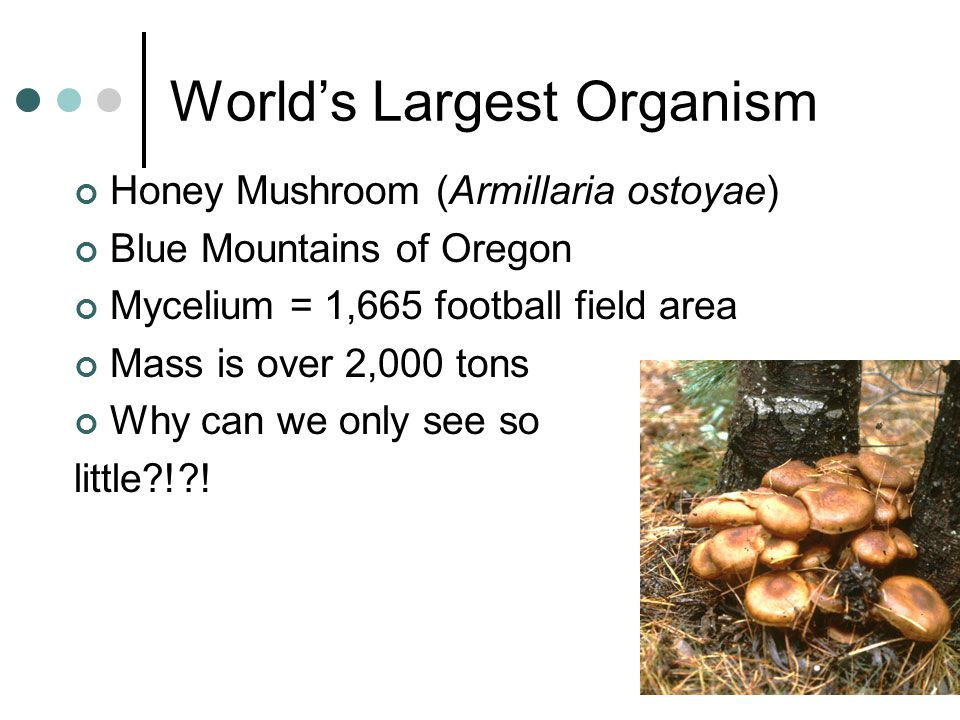 World's Largest Organism