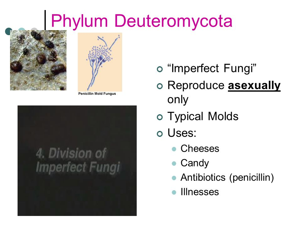 Phylum Deuteromycota Imperfect Fungi Reproduce asexually only