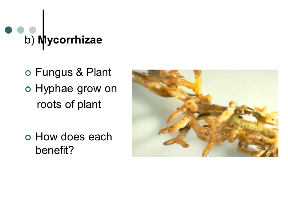 b) Mycorrhizae Fungus & Plant Hyphae grow on roots of plant How does each benefit