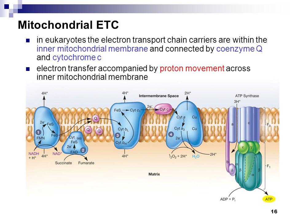 Mitochondrial ETC