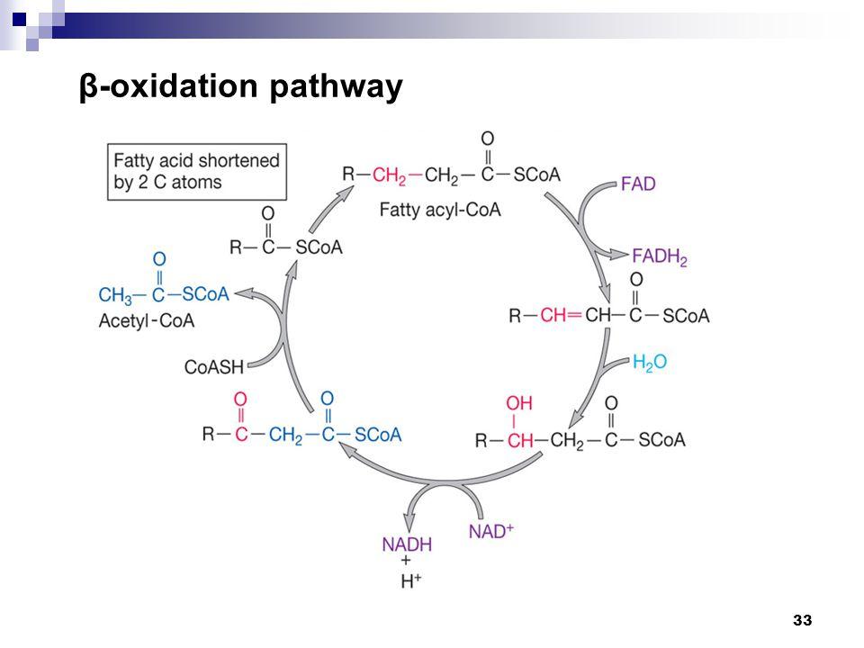 β-oxidation pathway