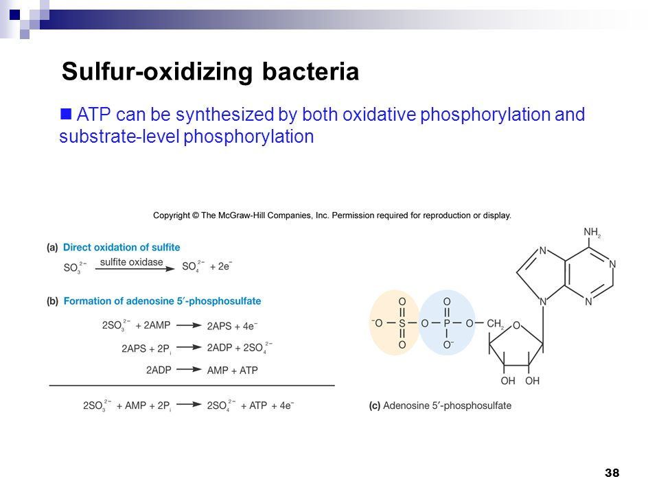 Sulfur-oxidizing bacteria